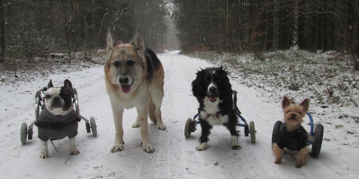 Hunde im Rollstuhl beim Winterspaziergang