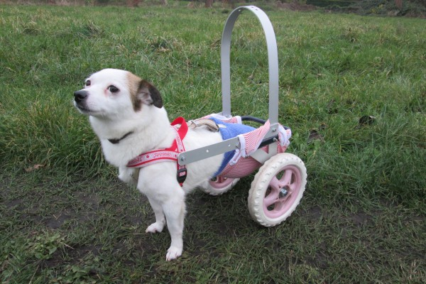 Hund im Rollstuhl