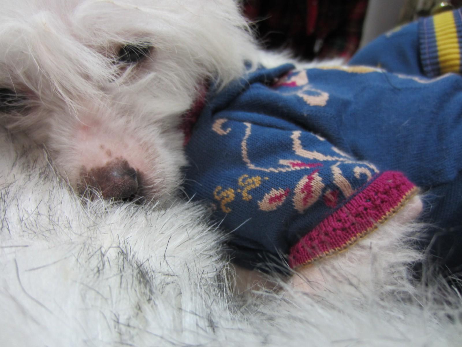 Hund im Pullover auf einem Fell